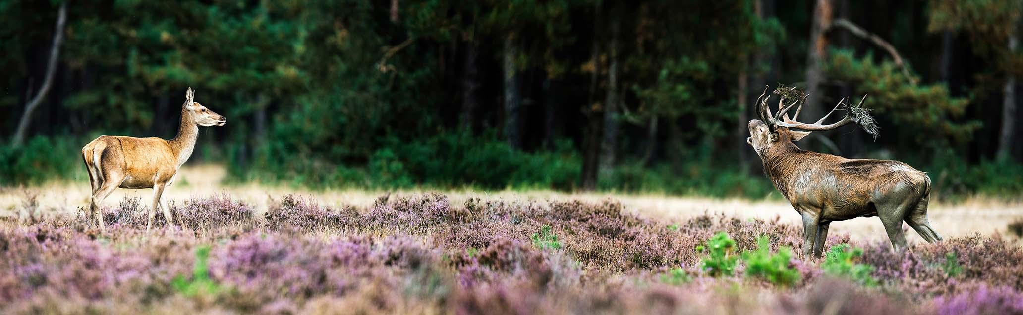 Roaring red deer in rutting season. National Park Hoge Veluwe.